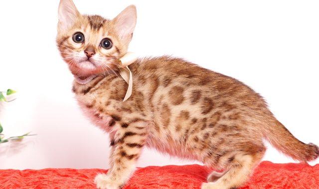 ベンガルの子猫 2019/9/29生 789番ホワイト メス2