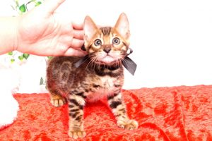ベンガルの子猫 2019/10/3生 796番ブラック オス1
