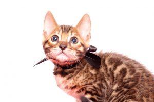 ベンガルの子猫 2019/10/3生 796番ブラック オス2