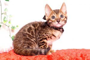 ベンガルの子猫 2019/10/3生 796番ブラック オス3