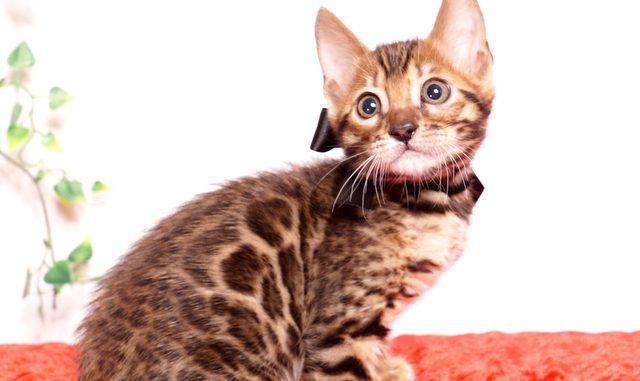 ベンガルの子猫 2019/10/3生 796番ブラック オス6