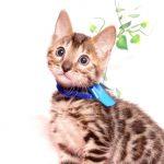 ベンガルの子猫 2019/10/3生 795番ブルー オス1