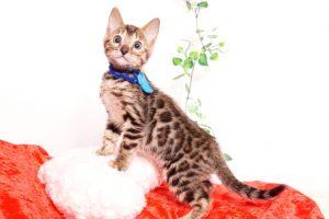 ベンガルの子猫 2019/10/3生 795番ブルー オス3