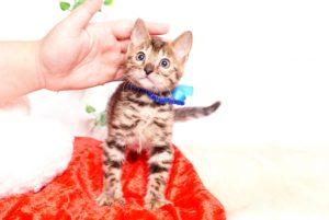 ベンガルの子猫 2019/10/3生 795番ブルー オス4