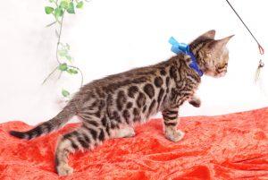 ベンガルの子猫 2019/10/3生 795番ブルー オス6