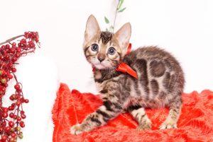 ベンガルの子猫 2019/10/3生 793番レッド メス1