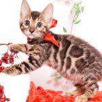 ベンガルの子猫 2019/10/3生 793番レッド メス2
