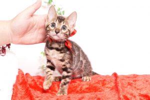 ベンガルの子猫 2019/10/3生 793番レッド メス3