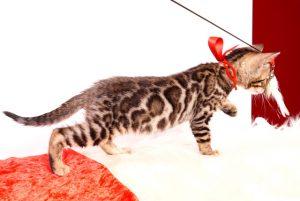 ベンガルの子猫 2019/10/3生 793番レッド メス4