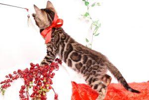 ベンガルの子猫 2019/10/3生 793番レッド メス5