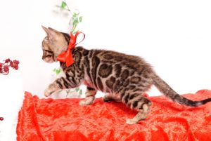 ベンガルの子猫 2019/10/3生 793番レッド メス6
