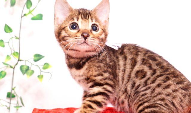 ベンガルの子猫 2019/10/25生 804番ホワイト メス1