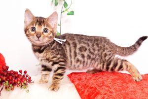 ベンガルの子猫 2019/10/25生 804番ホワイト メス2