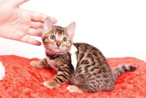 ベンガルの子猫 2019/10/25生 804番ホワイト メス3