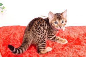 ベンガルの子猫 2019/10/25生 804番ホワイト メス1-19-12-17 00810