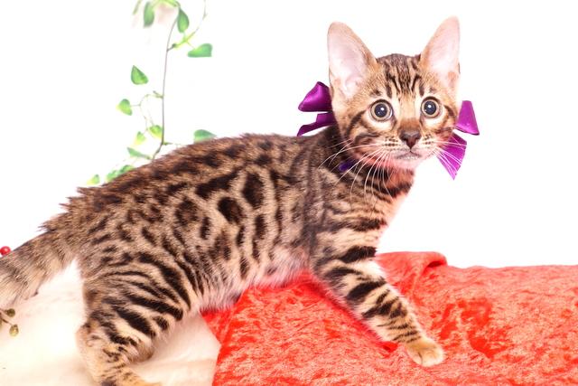 ベンガルの子猫 2019/10/24生 803番パープル メス5