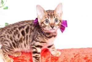 ベンガルの子猫 2019/10/24生 803番パープル メス6