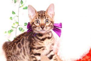 ベンガルの子猫 2019/10/24生 803番パープル メス7