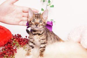 ベンガルの子猫 2019/10/24生 803番パープル メス1-19-12-17 01080