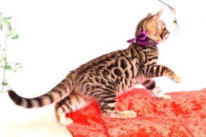 ベンガルの子猫 2019/10/24生 803番パープル メス2