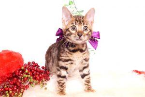 ベンガルの子猫 2019/10/24生 803番パープル メス4