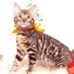 ベンガルの子猫 2019/10/24生 786番オレンジ メス2