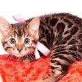 ベンガルの子猫 2019/10/24生 785番ピンク メス1