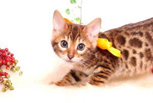 ベンガルの子猫 2019/10/5生 786番オレンジ メス2