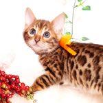 ベンガルの子猫 2019/10/5生 802番オレンジ メス4