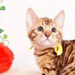 ベンガルの子猫 2019/10/3生 800番イエロー オス6