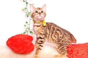 ベンガルの子猫 2019/10/3生 800番イエロー オス3