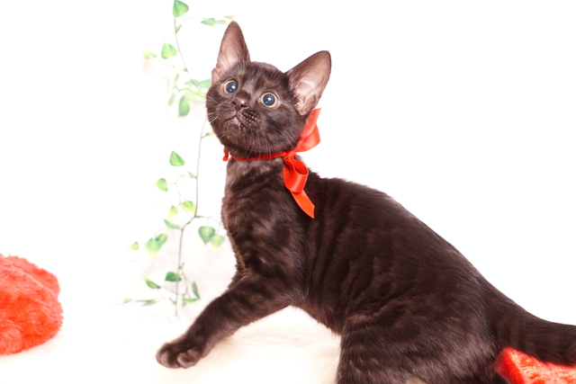 ベンガルの子猫 2019/10/3生 798番レッド メス5
