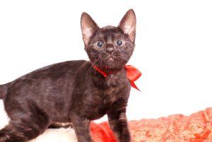 ベンガルの子猫 2019/10/3生 798番レッド メス1