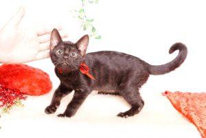 ベンガルの子猫 2019/10/3生 798番レッド メス2