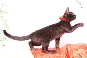 ベンガルの子猫 2019/10/3生 798番レッド メス3