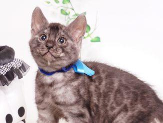 ベンガルの子猫 2019/11/22生 812番ブルー オス1
