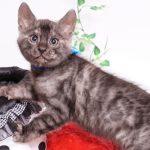 ベンガルの子猫 2019/11/22生 812番ブルー オス4