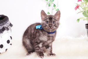ベンガルの子猫 2019/11/22生 812番ブルー オス6