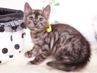 ベンガルの子猫 2019/11/22生 811番 イエロー オス2