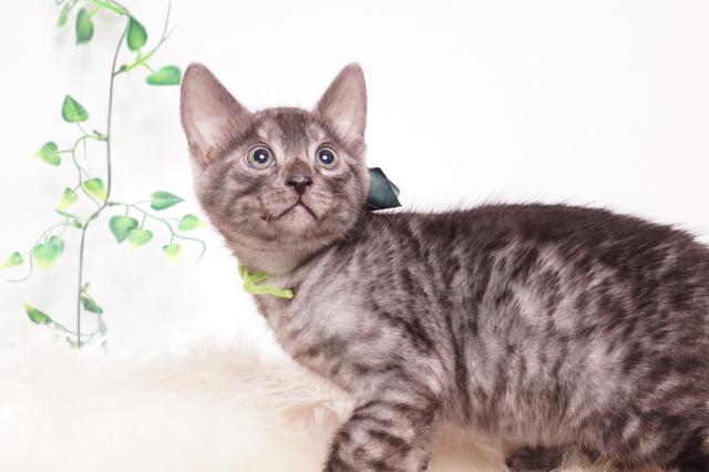 ベンガルの子猫 2019/11/22生 810番 グリーン オス1