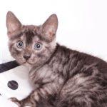 ベンガルの子猫 2019/11/22生 810番 グリーン オス2