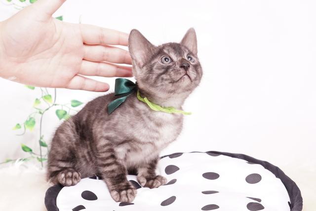 ベンガルの子猫 2019/11/22生 810番 グリーン オス6