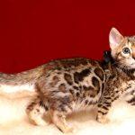ベンガルの子猫 2019/3/13生 671番ブラック オス1