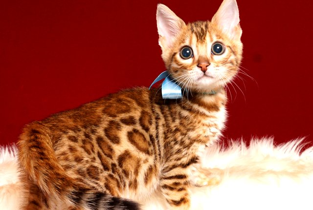 ベンガルの子猫 2019/3/13生 669番アクア オス1
