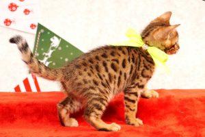 ベンガルの子猫2016年10月10日生まれ 270番イエロー君