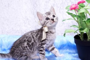 ベンガルの子猫2018/6/4生 529番しろ♂-6