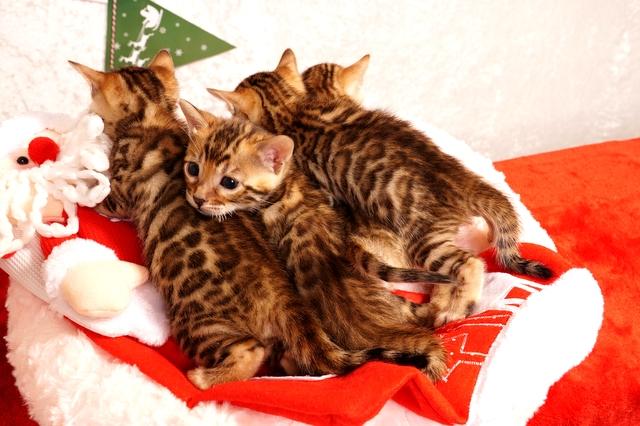 ベンガル 子猫 クリスマス