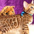 ベンガルの子猫2018/6/4生 528番あお♂-10