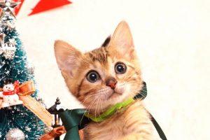 ベンガルの子猫2016年10月20日生まれ272番グリーン君
