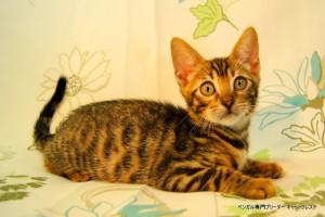 ベンガル子猫46番フルートちゃん041503